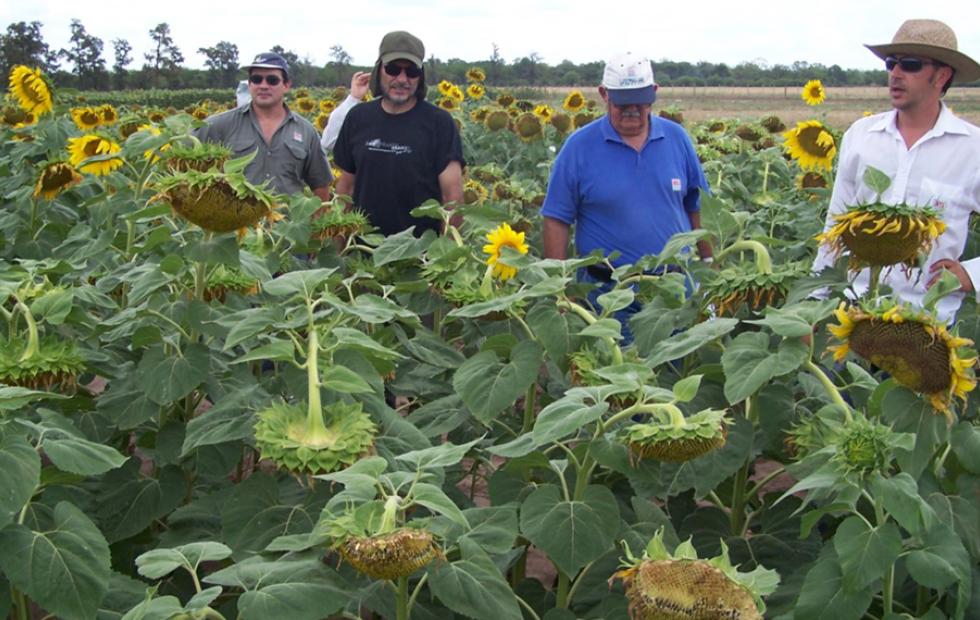 """Aseguran que el girasol es un cultivo """"en peligro de extinción"""" por la cartelización."""