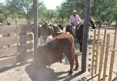Imparables Los Pumas. Secuestraron otros 32 vacunos y una jaula con la que llevaron los animales robados a una provincia vecina.