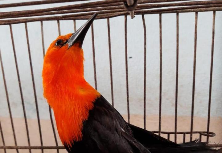 Nuestras más preciadas aves en riesgo de desaparecer por el tráfico ilegal. Felicitaciones a los policías que evitaron otro hecho y alerta a todos para denunciar.