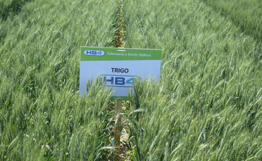 Trigo HB4