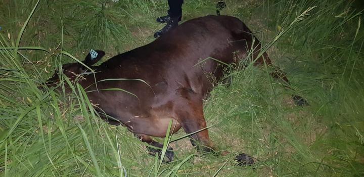05112018 fatal Elías Colussi animal vacuno de Lovisa.jpg