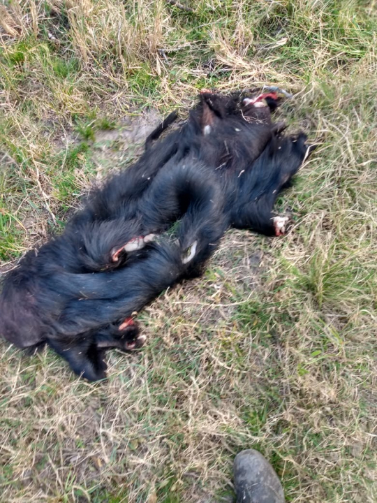 Procedimiento de Los Pumas en La Gallareta campo de Marconi 12 julio 2021