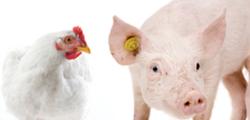 cerdo y gallina